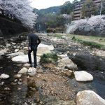 桜 芦屋川 市居博